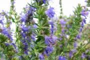 Фото 1 Иссоп или синий зверобой: обзор целебных свойств растения и его использование в кулинарии