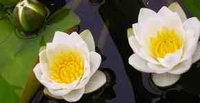 Белая кувшинка: все, что нужно знать о сборе и полезных свойствах водяной лилии фото
