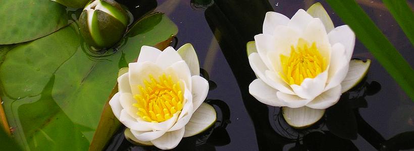 Белая кувшинка: все, что нужно знать о сборе и полезных свойствах водяной лилии