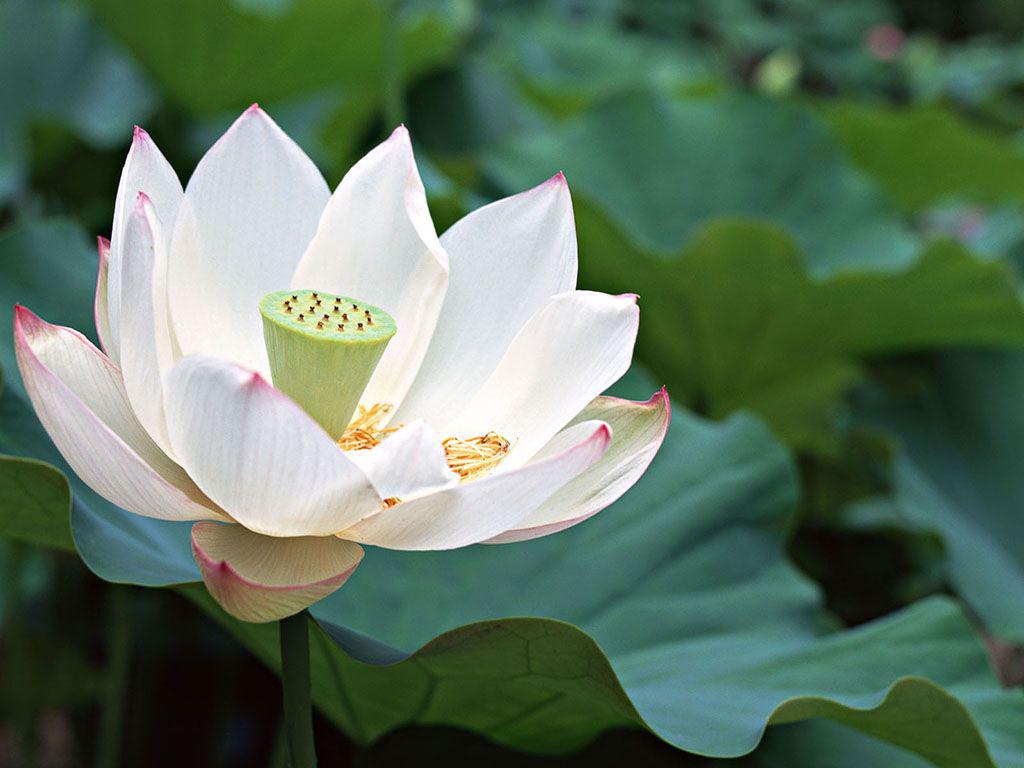 Белая кувшинка: фото, особенности и полезные свойства