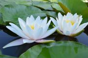 Фото 5 Белая кувшинка: все, что нужно знать о сборе и полезных свойствах водяной лилии