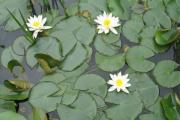 Фото 15 Белая кувшинка: все, что нужно знать о сборе и полезных свойствах водяной лилии