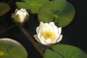Фото 16 Белая кувшинка: все, что нужно знать о сборе и полезных свойствах водяной лилии