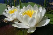 Фото 19 Белая кувшинка: все, что нужно знать о сборе и полезных свойствах водяной лилии
