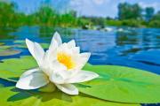 Фото 21 Белая кувшинка: все, что нужно знать о сборе и полезных свойствах водяной лилии
