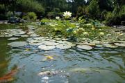 Фото 27 Белая кувшинка: все, что нужно знать о сборе и полезных свойствах водяной лилии