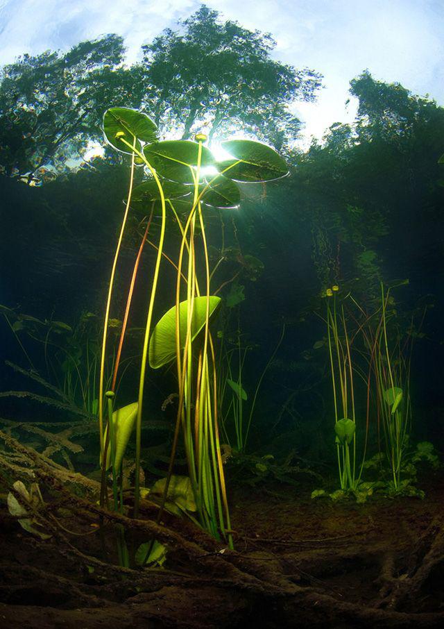 Нимфея обладает корневищной или клубневой, вертикальной или горизонтальной корневой системой