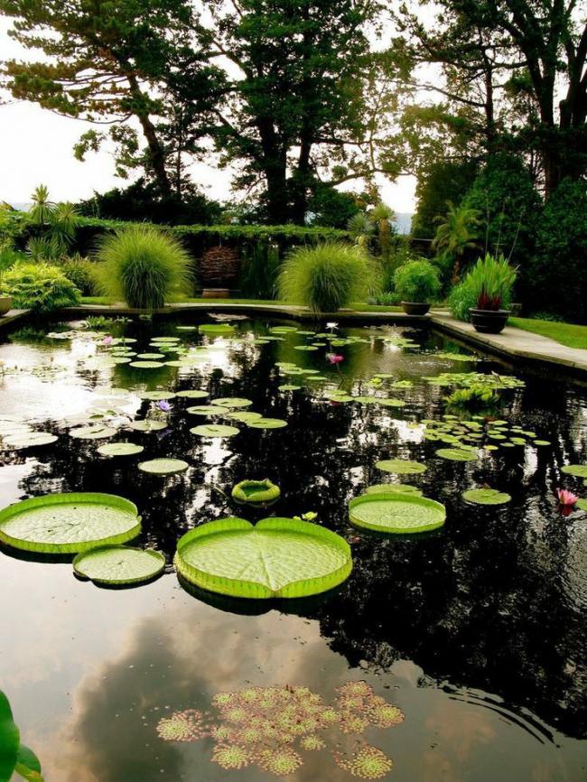 Сбор корневища в лекарственных целях и цветов во время цветения так же стало причиной исчезновения этого красивого водяного растения