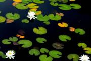 Фото 28 Белая кувшинка: все, что нужно знать о сборе и полезных свойствах водяной лилии