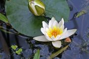 Фото 29 Белая кувшинка: все, что нужно знать о сборе и полезных свойствах водяной лилии
