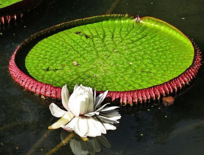 Гигантская кувшинка, обитающая в Амазонии