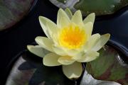 Фото 30 Белая кувшинка: все, что нужно знать о сборе и полезных свойствах водяной лилии