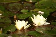 Фото 31 Белая кувшинка: все, что нужно знать о сборе и полезных свойствах водяной лилии