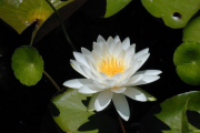 Фото 33 Белая кувшинка: все, что нужно знать о сборе и полезных свойствах водяной лилии