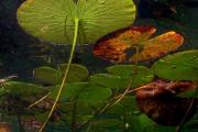 Фото 34 Белая кувшинка: все, что нужно знать о сборе и полезных свойствах водяной лилии