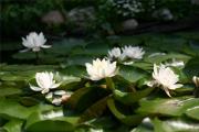 Фото 35 Белая кувшинка: все, что нужно знать о сборе и полезных свойствах водяной лилии