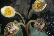 Фото 38 Белая кувшинка: все, что нужно знать о сборе и полезных свойствах водяной лилии