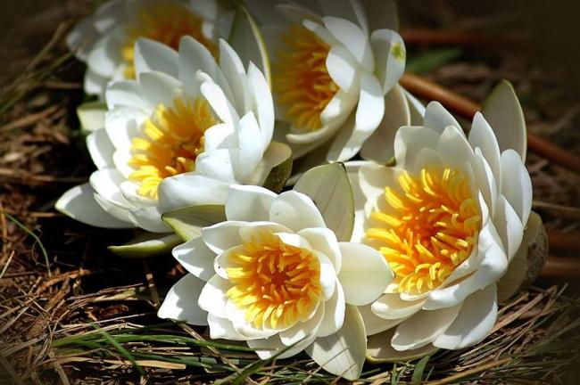 Белая водяная лилия имеет ярко-желтую середину