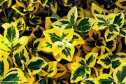 Фото 8 Бересклет: фотообзор различных сортов и советы по обустройству ландшафтного дизайна