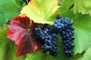 Фото 19 Неукрывной виноград для Подмосковья: как выбрать материал для посадки морозостойких сортов?