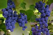 Фото 5 Неукрывной виноград для Подмосковья: как выбрать материал для посадки морозостойких сортов?