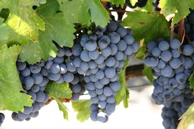 Неукрывной сорт винограда «Лисья ягода» очень богат содержанием сахара