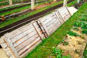 Фото 7 Неукрывной виноград для Подмосковья: как выбрать материал для посадки морозостойких сортов?