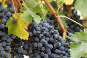 Фото 8 Неукрывной виноград для Подмосковья: как выбрать материал для посадки морозостойких сортов?