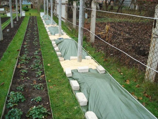 В первый год роста морозостойкий виноград стоит укрыть на зиму