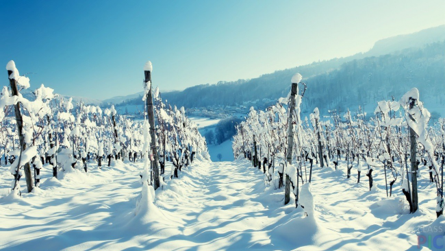Существует большое количество технических сортов винограда с высокой морозоустойчивостью
