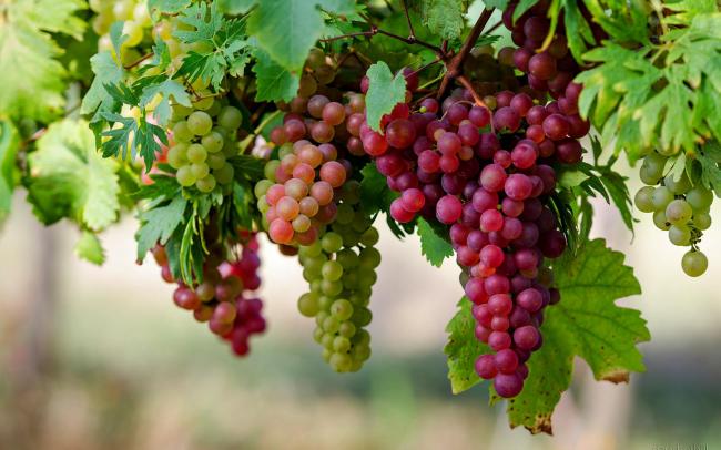 Сорта неукрывного винограда стали очень популярны в регионах с холодной зимой