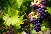 Фото 15 Неукрывной виноград для Подмосковья: как выбрать материал для посадки морозостойких сортов?