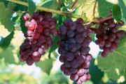 Фото 16 Неукрывной виноград для Подмосковья: как выбрать материал для посадки морозостойких сортов?