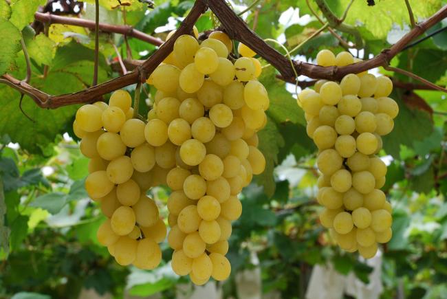 Полученного сока от виноградных ягод морозостойких сортов больше в два раза, чем от обычных столовых сортов