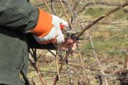 Фото 17 Неукрывной виноград для Подмосковья: как выбрать материал для посадки морозостойких сортов?