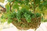 Фото 18 Неукрывной виноград для Подмосковья: как выбрать материал для посадки морозостойких сортов?