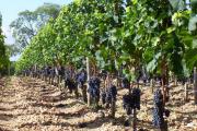 Фото 22 Неукрывной виноград для Подмосковья: как выбрать материал для посадки морозостойких сортов?