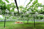 Фото 24 Неукрывной виноград для Подмосковья: как выбрать материал для посадки морозостойких сортов?