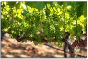 Фото 25 Неукрывной виноград для Подмосковья: как выбрать материал для посадки морозостойких сортов?