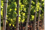 Фото 26 Неукрывной виноград для Подмосковья: как выбрать материал для посадки морозостойких сортов?