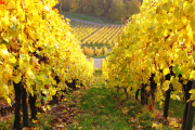 Фото 11 Неукрывной виноград для Подмосковья: как выбрать материал для посадки морозостойких сортов?