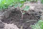 Фото 30 Неукрывной виноград для Подмосковья: как выбрать материал для посадки морозостойких сортов?