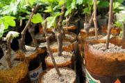 Фото 31 Неукрывной виноград для Подмосковья: как выбрать материал для посадки морозостойких сортов?