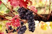 Фото 33 Неукрывной виноград для Подмосковья: как выбрать материал для посадки морозостойких сортов?