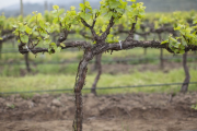 Фото 34 Неукрывной виноград для Подмосковья: как выбрать материал для посадки морозостойких сортов?