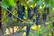 Фото 35 Неукрывной виноград для Подмосковья: как выбрать материал для посадки морозостойких сортов?