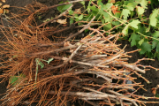 Фото 36 Неукрывной виноград для Подмосковья: как выбрать материал для посадки морозостойких сортов?