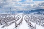 Фото 1 Неукрывной виноград для Подмосковья: как выбрать материал для посадки морозостойких сортов?