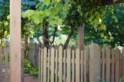 Фото 41 Неукрывной виноград для Подмосковья: как выбрать материал для посадки морозостойких сортов?
