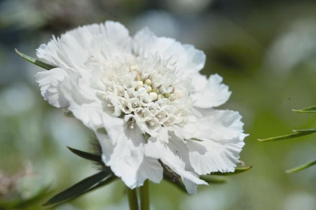 Кавказская скабиоза белого цвета